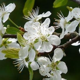 Gyümölcsészet a Bódva-völgyben